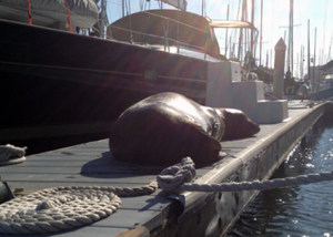 A seal in Marina del Rey in Sean's episode of The Gray Escape about SNL