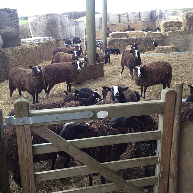 Sheep at Aura-Soma's Biodynamic Farm in Lincolnshire